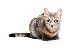όμορφη γάτα τιγρέ Στοκ Εικόνες