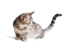 όμορφη γάτα τιγρέ Στοκ φωτογραφίες με δικαίωμα ελεύθερης χρήσης