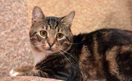 όμορφη γάτα τιγρέ Στοκ Εικόνα