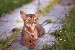 Όμορφη γάτα Abyssinian σε ένα περιλαίμιο, πορτρέτο κινηματογραφήσεων σε πρώτο πλάνο, χαριτωμένα που βρίσκεται στοκ εικόνες