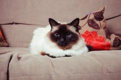 Όμορφη γάτα Birman σε έναν καναπέ Στοκ Εικόνες