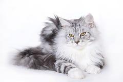 όμορφη γάτα coon Maine Στοκ φωτογραφία με δικαίωμα ελεύθερης χρήσης