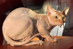 Όμορφη γάτα Sphynx στοκ φωτογραφίες