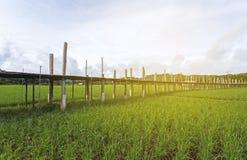 Όμορφη γέφυρα μπαμπού της Ταϊλάνδης, γέφυρα Zutongpae στο πράσινο ρύζι Στοκ Εικόνα