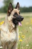 Όμορφη γερμανική συνεδρίαση σκυλιών ποιμένων στον ανθίζοντας τομέα Στοκ εικόνες με δικαίωμα ελεύθερης χρήσης