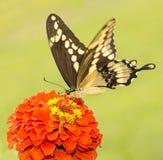 Όμορφη γιγαντιαία πεταλούδα Swallowtail Στοκ φωτογραφία με δικαίωμα ελεύθερης χρήσης