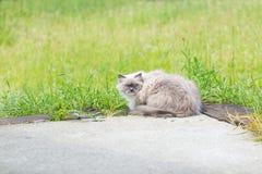 Όμορφη γκρίζα γάτα μεταμφιέσεων neva Στοκ εικόνα με δικαίωμα ελεύθερης χρήσης