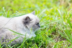 Όμορφη γκρίζα γάτα μεταμφιέσεων neva Στοκ Εικόνες