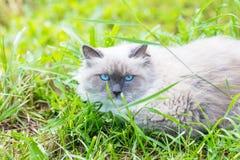 Όμορφη γκρίζα γάτα μεταμφιέσεων neva Στοκ φωτογραφία με δικαίωμα ελεύθερης χρήσης
