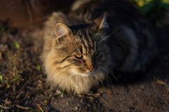 Όμορφη γκρίζα γάτα στις ακτίνες του ήλιου ρύθμισης στοκ εικόνα