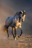 Όμορφη γκρίζα εκπαίδευση αλόγου σε περιστροφές επιβητόρων Στοκ Φωτογραφία