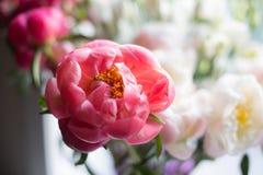 Όμορφη γοητεία κοραλλιών Paeonia στο floral υπόβαθρο Κατάπληξη peony στοκ εικόνες