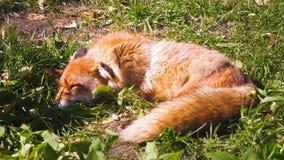 Όμορφη γούνινη άγρια κόκκινη αλεπού που στηρίζεται και που κοιμάται μετά από το κυνήγι στην ηλιόλουστη ημέρα στο λιβάδι σε πιό fo απόθεμα βίντεο