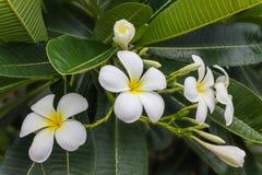 Όμορφη γλυκιά άσπρη και κίτρινη δέσμη plumeria λουλουδιών στο σπίτι γ Στοκ φωτογραφίες με δικαίωμα ελεύθερης χρήσης