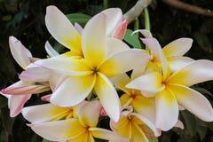 Όμορφη γλυκιά κίτρινη plumeria λουλουδιών ή δέσμη frangipani Στοκ Εικόνες