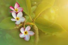 Όμορφη γλυκιά ρόδινη άσπρη plumeria λουλουδιών ή δέσμη frangipani Στοκ εικόνες με δικαίωμα ελεύθερης χρήσης