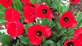 Όμορφη δέσμη των κόκκινων τουλιπών φιλμ μικρού μήκους