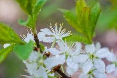 Όμορφη εικόνα άνοιξη Σαν οφθαλμούς, φύλλα, κεράσι ανθών Μακρο λουλούδια των δέντρων κήπων, μυρμήγκι Στοκ φωτογραφία με δικαίωμα ελεύθερης χρήσης