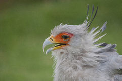 Όμορφη εικόνα σχεδιαγράμματος πουλιών γραμματέων Στοκ Φωτογραφίες