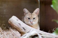 Όμορφη εικόνα της γάτας Felis Chaus ζουγκλών στοκ εικόνα με δικαίωμα ελεύθερης χρήσης