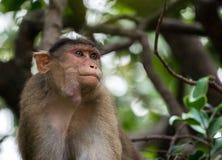 Όμορφη εικόνα της συνεδρίασης καπό macaque σε ένα δέντρο που φαίνεται δευτερεύοντες τρόποι Στοκ εικόνες με δικαίωμα ελεύθερης χρήσης