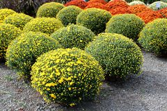Όμορφη εικόνα υποβάθρου των φωτεινών κίτρινων, πορτοκαλιών και άσπρων λουλουδιών στα δοχεία για την πώληση στην αγορά φθινοπώρου στοκ εικόνα