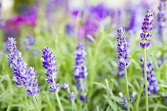Όμορφη εικόνα lavender του τομέα Στοκ φωτογραφία με δικαίωμα ελεύθερης χρήσης