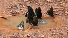 Όμορφη εκμετάλλευση πεταλούδων κινηματογραφήσεων σε πρώτο πλάνο thr στο πάτωμα στο χρόνο ημέρας μετά από τη βροχή απόθεμα βίντεο
