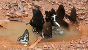 Όμορφη εκμετάλλευση πεταλούδων κινηματογραφήσεων σε πρώτο πλάνο thr στο πάτωμα στο χρόνο ημέρας μετά από τη βροχή φιλμ μικρού μήκους