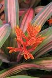 Όμορφη λεπτομέρεια στην εικόνα του φωτεινού πορτοκαλιού λουλουδιού που πτυχώνεται μεταξύ των ρόδινων και πράσινων ριγωτών φύλλων Στοκ εικόνα με δικαίωμα ελεύθερης χρήσης