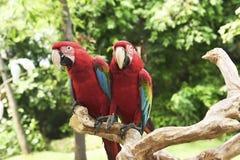 Όμορφη ερυθρά συνεδρίαση Ara Μακάο macaws στον κλάδο Στοκ Εικόνα