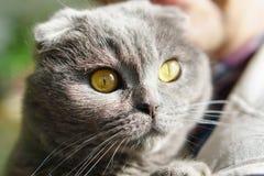 Όμορφη εσωτερική μπλε και γκρίζα βρετανική σκωτσέζικη πτυχών κοντή γάτα ματιών τρίχας κίτρινη Κλείστε επάνω, οριζόντια, εκλεκτική Στοκ Φωτογραφία