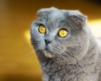 Όμορφη εσωτερική μπλε και γκρίζα βρετανική σκωτσέζικη πτυχών κοντή γάτα ματιών τρίχας κίτρινη Κλείστε επάνω, οριζόντια, εκλεκτική Στοκ φωτογραφία με δικαίωμα ελεύθερης χρήσης