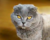 Όμορφη εσωτερική μπλε και γκρίζα βρετανική σκωτσέζικη πτυχών κοντή γάτα ματιών τρίχας κίτρινη Στοκ Φωτογραφίες