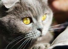 Όμορφη εσωτερική μπλε και γκρίζα βρετανική σκωτσέζικη πτυχών κοντή γάτα ματιών τρίχας κίτρινη Στοκ εικόνες με δικαίωμα ελεύθερης χρήσης