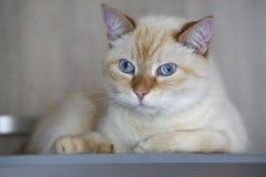 Όμορφη εσωτερική πιπεροριζών κόκκινη κρητιδογραφιών κοντή γάτα ματιών τρίχας μπλε γκρίζα που φαίνεται ευθεία προς τη κάμερα Κλείσ Στοκ Φωτογραφία