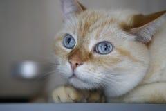 Όμορφη εσωτερική πιπεροριζών κόκκινη abd κρητιδογραφιών κοντή γάτα ματιών τρίχας μπλε γκρίζα που φαίνεται ευθεία προς τη κάμερα Στοκ Φωτογραφία
