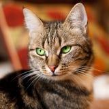 Όμορφη ευρωπαϊκή γάτα στο μέτωπο με το πράσινο μάτι Στοκ Φωτογραφίες