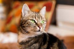 Όμορφη ευρωπαϊκή γάτα στο μέτωπο με το πράσινο μάτι Στοκ Φωτογραφία
