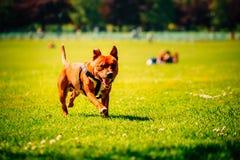 Όμορφη ευτυχής εύθυμη έννοια της Pet τεριέ Pitbull Στοκ εικόνες με δικαίωμα ελεύθερης χρήσης