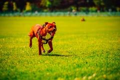 Όμορφη ευτυχής εύθυμη έννοια της Pet τεριέ Pitbull Στοκ φωτογραφία με δικαίωμα ελεύθερης χρήσης