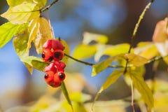 Όμορφη ζωηρή κόκκινη κινηματογράφηση σε πρώτο πλάνο μούρων των φυσικών, ζωηρόχρωμων χρωμάτων φθινοπώρου, υπόβαθρο πτώσης Η πτώση  Στοκ Φωτογραφία