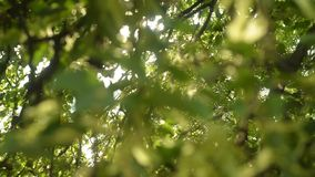 Όμορφη ηλιοφάνεια μέσω του φυσήγματος στα πράσινα φύλλα δέντρων αέρα φιλμ μικρού μήκους