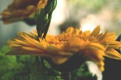 Όμορφη θερινή συγκεκριμένη φωτογραφία Κίτρινα λουλούδια σε έναν στενό επάνω πυροβολισμό όμορφες λεπτομέρειες Στοκ φωτογραφία με δικαίωμα ελεύθερης χρήσης