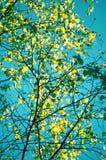Όμορφη θερινή συγκεκριμένη φωτογραφία Πράσινα φύλλα στα μικρότερα δέντρα σημύδων με τον όμορφο σαφή μπλε ουρανό στο υπόβαθρο Όμορ Στοκ Εικόνες