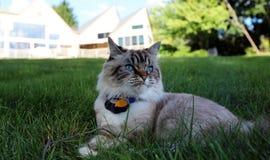 Όμορφη θηλυκή γάτα μπλε ματιών, hypoallergenic γάτα Ζώο που μπορεί να είναι κατοικίδιο ζώο από τους ανθρώπους που είναι αλλεργικό Στοκ Εικόνα
