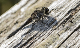 Όμορφη λιβελλούλη, λιβελλούλη, έντομα Στοκ Εικόνες