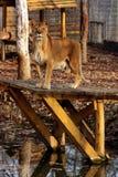 όμορφη λιονταρίνα Στοκ Εικόνα