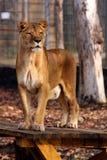 όμορφη λιονταρίνα Στοκ φωτογραφία με δικαίωμα ελεύθερης χρήσης