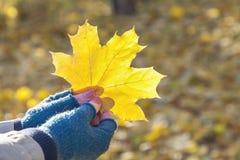Όμορφη ιστορία φθινοπώρου Χέρια φύλλων σφενδάμου Στοκ φωτογραφίες με δικαίωμα ελεύθερης χρήσης